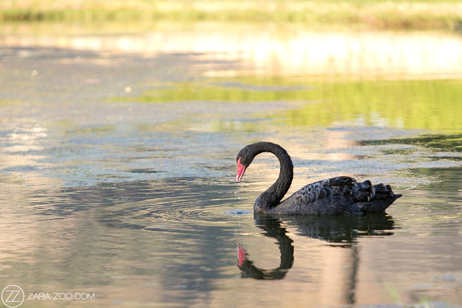 Black Swan South Africa